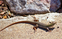 9112 Arzona Stripped whiptail lizard
